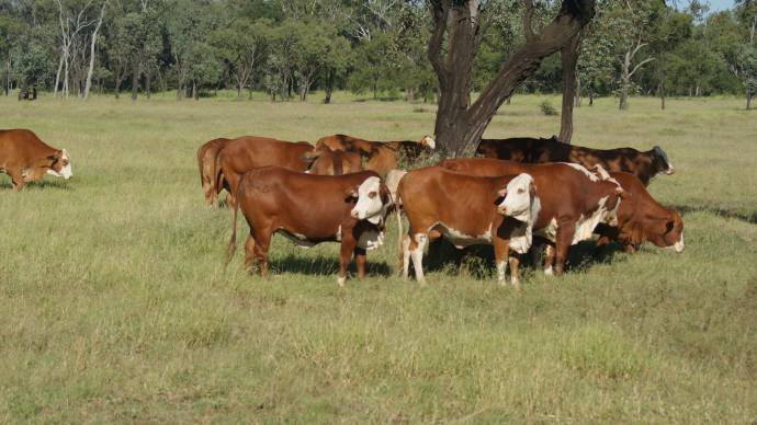 The Burnett Group believes a well structured cattle crossbreeding program is delivering good outcomes for their production system